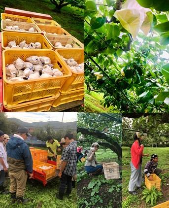 梨の収穫体験へ行ってきました(^^)